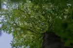 Beech tree greenery